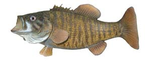 Small Mouth Bass Replica by Perma Trohpy